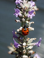 Lady Bug on a Lavender Plant