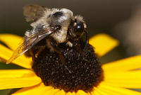 A Bee Feeding on a Black-Eyed Susan Flower