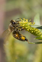 Honey Bee on Yellow Flower with Pollen Sac