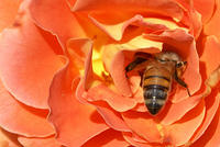 A Honey Bee in Bright Orange 'Bass Band' Rose