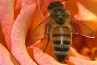 Honey Bee on an Orange 'Shelia's Perfume' Rose