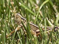 Side View of Two-striped Grasshopper