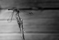 Black and White - Perched Dragonfly (Meadowhawk)
