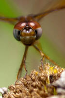 Close up of a Meadowhawk Dragonfly