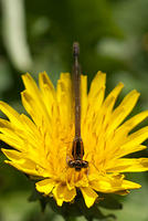 Orange Bluet Damselfy on a Dandelion