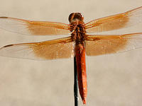 Orange Dragonfly on Antenna