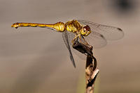 A Yellow / Gold Dragonfly