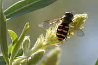 Macro of Black and Yellow Hoverfly