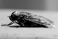 Black and White - Horse Fly