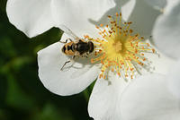 Flower Fly - A Bee Look-a-Like