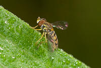Macro of Hoverfly on Leaf in Ohio