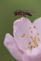 A Hoverfly On Peach Blossom Edge