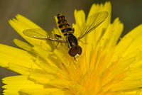 Hoverfly On A Yellow Flower - Macro