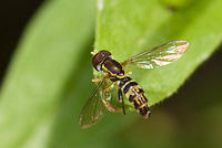 Hoverfly Sitting on the Edge of a Leaf