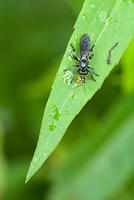 A Small Black Robber Fly with Prey
