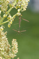 Two Craneflies-Mating