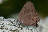 Butterfly - Banded Hairstreak - White with Brown Wings