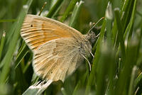 Common Ringlet Butterfly in the Grass