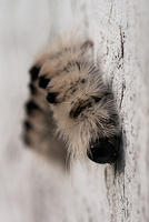 Hairy Black and White Caterpillar
