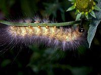 A Hairy Yellow Caterpillar