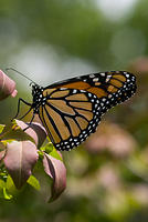 Monarch Butterfly on a Burning Bush