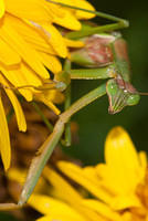 Green Praying Mantis Crawling on a Yellow Flower