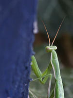 Green Praying Mantis Looking Backwards