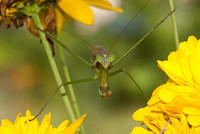A Green Praying Mantis on a Yellow Flower
