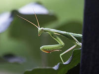 A Green Praying Mantis