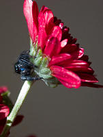 Black Jumping Spider on Red Flower