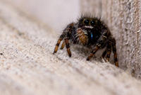 Brown and Black Jumping Spider on Fence