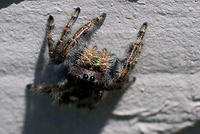 Brown Jumping Spider with Green Fangs