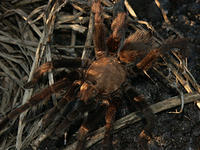 Brown Tarantula in New Mexico Desert