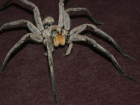 Carolina Wolf Spider with Orange Fangs