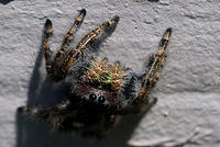 A Brown Jumping Spider with Gold Bands