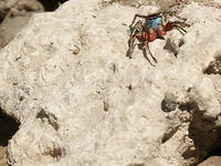 Red and Blue Jumping Spider