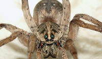 Wolf Spider - Fangs