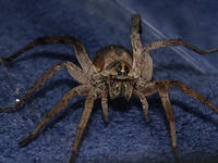 Wolf Spider - New Mexico