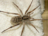 Top View of a Wolf Spider