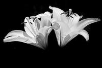 White Asiatic Lily - Black and White