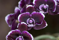 Deep Purple and White Moth Orchid