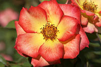 'Betty Boop' Rose - Bright Yellow Center with Red Edges