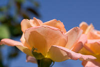 Rose - 'Summer Dream' - Apricot Hybrid Tea