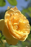 Rose - Yellow Shot in Full Sun