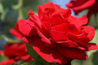 Rose - Bright Red