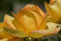 Rose - A Yellow and Orange Grandiflora - 'Gold Medal' Bloom