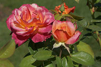 Rose - A Red, Yellow and Orange Hybrid Tea - 'Broadway'
