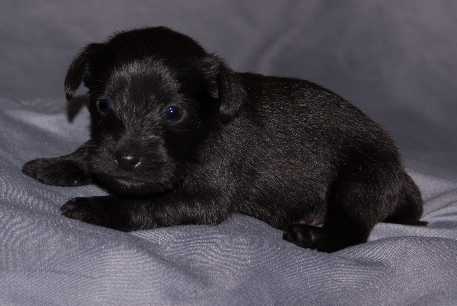 Male - Black Schnauzer Yorkie Mix - 3 Weeks