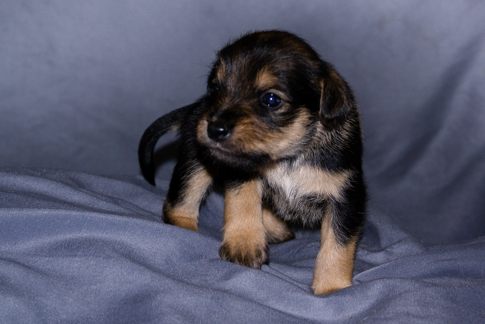 Female - Black and Brown Schnauzer Yorkie Pup