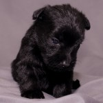 Female - Black Schnauzer Yorkie Pup